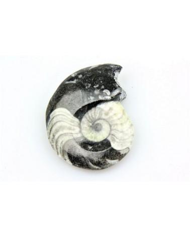 Goniatiet gepolijst ca 3-5 cm (stuk) -Marokko 360 mlj jr