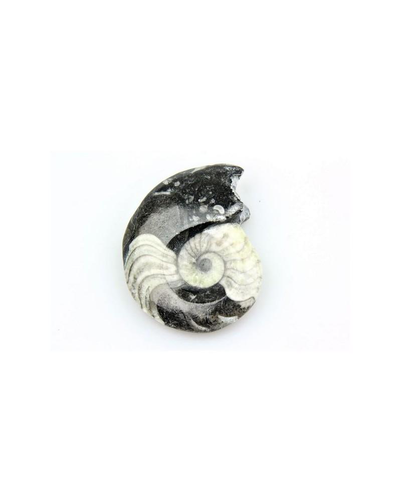 Goniatiet gepolijst ca.5-7 cm (stuk) -Marokko 360 mlj jr