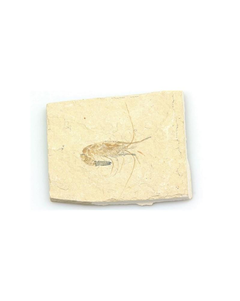 Fossiel garnaal enkel (stuk)- Libanon 95 mlj jr