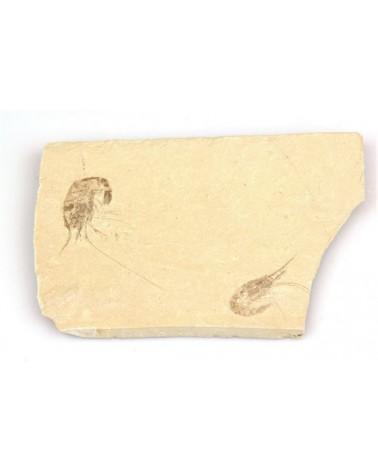 Fossiele garnalen dubbel (stuk)- Libanon 95mlj jr