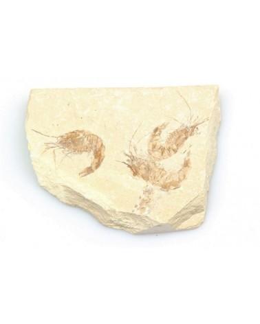 Fossiele garnalen 3-voudig (stuk)- Libanon 95 mlj jr
